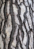 Barkentyna cedrowy drzewo w lesie Obrazy Royalty Free