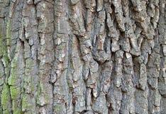 Barkentyna dębowy drzewo Zdjęcie Royalty Free
