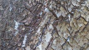Barkentyna drzewna tekstura Zdjęcia Royalty Free