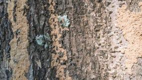 Barkentyna drzewna tekstura Fotografia Stock