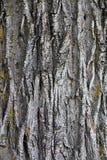 Barkentyna drzewna tekstura Zdjęcie Royalty Free