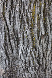 Barkentyna drzewna tekstura Obraz Stock