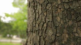Barkentyna drzewny zakończenie w górę, imponująco piękna barkentyna drzewo, barkentyna klon zbiory wideo