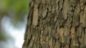 Barkentyna drzewny zakończenie w górę, imponująco piękna barkentyna drzewo, barkentyna klon zdjęcie wideo