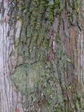 Barkentyna drzewo Zdjęcia Stock
