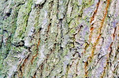 Barkentyna drzewo Zdjęcie Stock