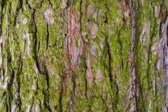 Barkentyna drzewo, drewno pękał teksturę Fotografia Stock