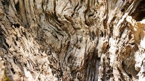 Barkentyna drzewo oliwne Obrazy Stock