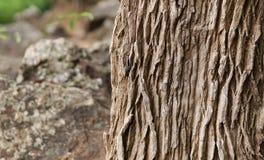 Barkentyna drzewo tło tekstury szczekać drzewo Fotografia Stock
