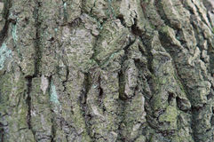 Barkentyna, drzewo, tekstura Obrazy Stock