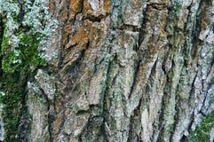 Barkentyna, drzewo, tekstura Fotografia Stock