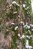 Barkentyna drzewo z mech, liszajem i śniegiem, fotografia stock