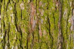 Barkentyna drzewo zakrywający z mech Starego drewna krakingowa tekstura, Fotografia Stock