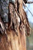 Barkentyna na drzewie stronniczo flayed zdjęcie stock