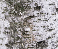 Barkentyna sosna tworzyć tapetę, teksturę lub tło, Obraz Royalty Free