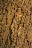 Barkentyna stary conker drzewo Zdjęcia Royalty Free