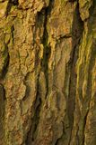 Barkentyna stary conker drzewo Zdjęcia Stock