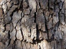 Barkentyna stary drzewo fotografia royalty free