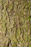 Barkentyna stary jedlinowy drzewo. Obrazy Royalty Free