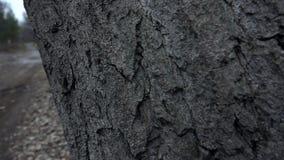 Barkentyna wielki drzewo zbiory