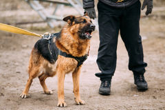 Barking Angry German Shepherd Alsatian Wolf Dog On Training. Barking Angry German Shepherd Dog On Training. Alsatian Wolf Dog royalty free stock image