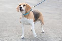 Barking beagle Stock Photography