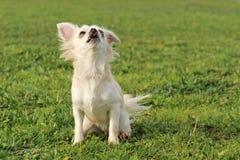Barking chihuahua Stock Image
