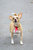 Barking Chihuahua pet Stock Photos