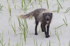 Barking commander polar fox Royalty Free Stock Image