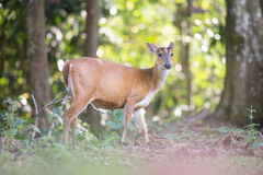 Barking dear. In khaoyai thailand Stock Image