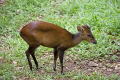 Barking deer Royalty Free Stock Image