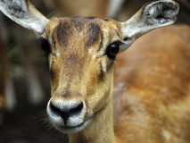 Barking Deer Stock Photo