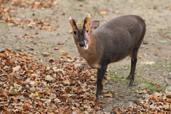 Barking Deer. The barking deer sticking out its tongue royalty free stock image