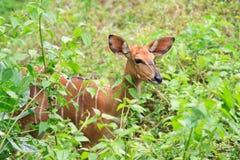 Barking deer. In meadow closeup Stock Photos