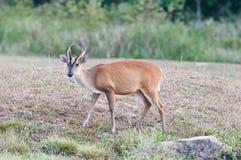Barking deer Stock Images
