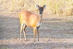 Barking deer Royalty Free Stock Photography