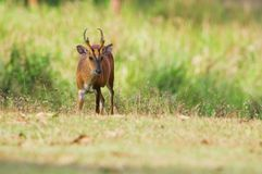 Barking deer Stock Image