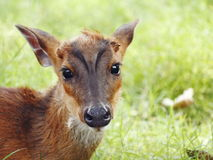 Barking Deer Royalty Free Stock Photos
