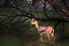 Barking Deer Royalty Free Stock Photos