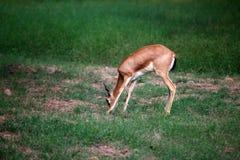 Barking deer. Beautiful shot of barking deer in wild Royalty Free Stock Photo