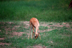 Barking deer royalty free stock images
