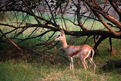 Barking deer. Beautiful shot of barking deer in wild Stock Image