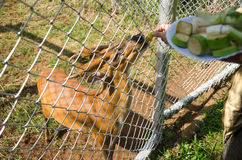 Barking deer. In cage eating banana Stock Photo