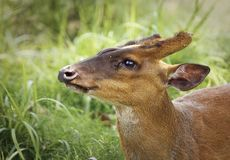 Barking Deer Closeup Royalty Free Stock Photo