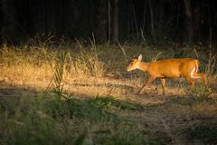 A barking deer closeup walking in bandhavgarh forest. A barking deer closeup in sunlight walking in forest of central india at bandhavgarh tiger reserve, india royalty free stock photography