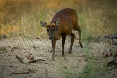 A barking deer closeup walking in bandhavgarh forest. A barking deer closeup in sunlight walking in forest of central india at bandhavgarh tiger reserve, india royalty free stock images