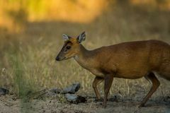 A barking deer closeup walking in bandhavgarh forest. A barking deer closeup in sunlight walking in forest of central india at bandhavgarh tiger reserve, india stock images