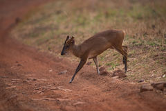 Barking deer crossing dirt track in shade Royalty Free Stock Photography