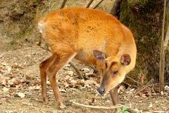 Barking deer Stock Photos