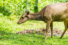 Barking deer. Female barking deer on green grass, Thailand Stock Photography